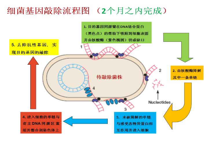 目前接大肠杆菌,沙门氏菌和布什杆菌基因敲除 。 1、目的基因同源臂在DNA结合蛋白(黑色点)的帮助下吸附到细胞表面,并由核酸酶(紫色椭圆)切成缺口; 2、由核酸酶降解其中一条单链; 3、未被降解的单链与感受态特意蛋白相互作用并进入细胞; 4、进入细胞的单链与寄主DNA同源区重组并整合到染色体上; 5、去除抗性基因,实现目的基因的敲除;  样本要求 : 提供突变菌株,目的基因信息和目的菌株。